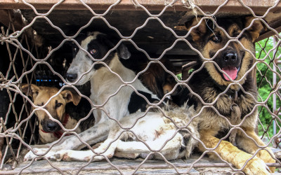 Dogs wait in a truck outside a large Chinese slaughterhouse