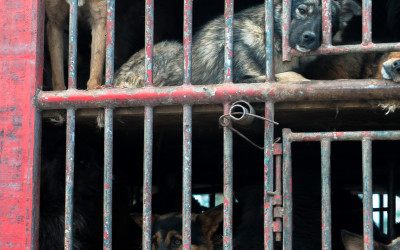 Dogs wait outside slaughterhouse in large transport truck