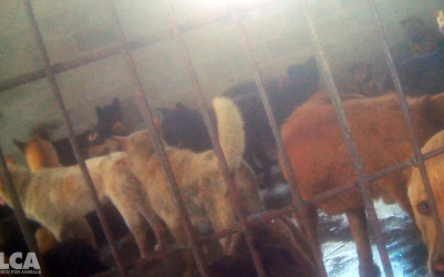 Dogs awaiting slaughter at Yulin slaughterhouse, June 2016