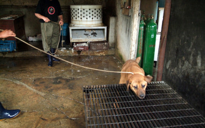 Terrified dog at Korean dog slaughterhouse