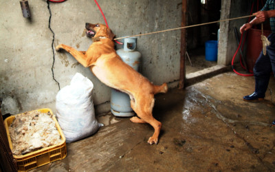 Dog struggling to escape in Korean slaughterhouse