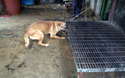 Dog tortured in Korean slaughterhouse