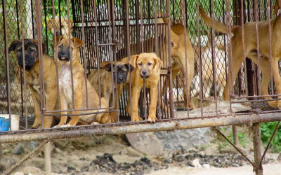 Dogs in Korea awaiting slaughter