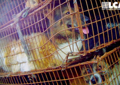 Live dogs in wire cages awaiting slaughter in Yulin, June 2015