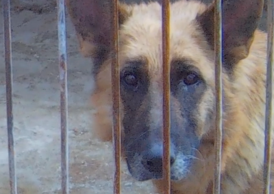 Dog in holding pen at Chinese dog slaughterhouse