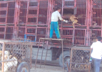 Dog dragged out of slaughterhouse transport truck