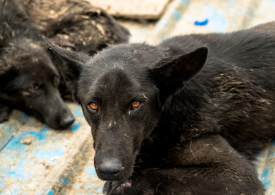 Dog bound for slaughter rests after being transported to rescue shelter