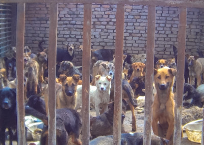 Dogs collected off the city streets wait in a holding pen at a slaughterhouse