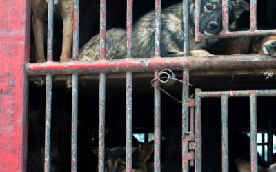 Dogs wait outside slaughterhouse in large transport truck