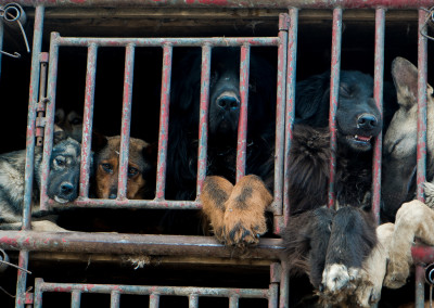 Live dogs (left side) lie next to their cage mates who have died during transport (right side)
