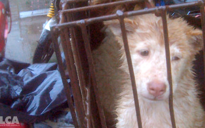 Puppy to be sold for meat in Yulin, June 2016