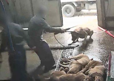 20 Dog Slaughterhouse - refusing to bite electric rod