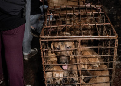 Dogs in cages at a slaughterhouse